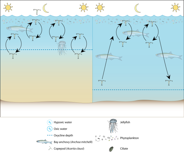 Conceptual diagram of potential changes to zooplankton vertical migration under hypoxic conditions.